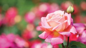 Telly's Rose Care Guide