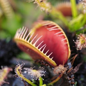 Telly's Venus Fly Trap Care Guide