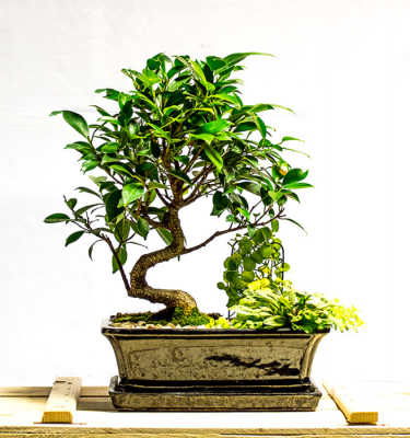 tellys bonsai ficus retusa tiger bark