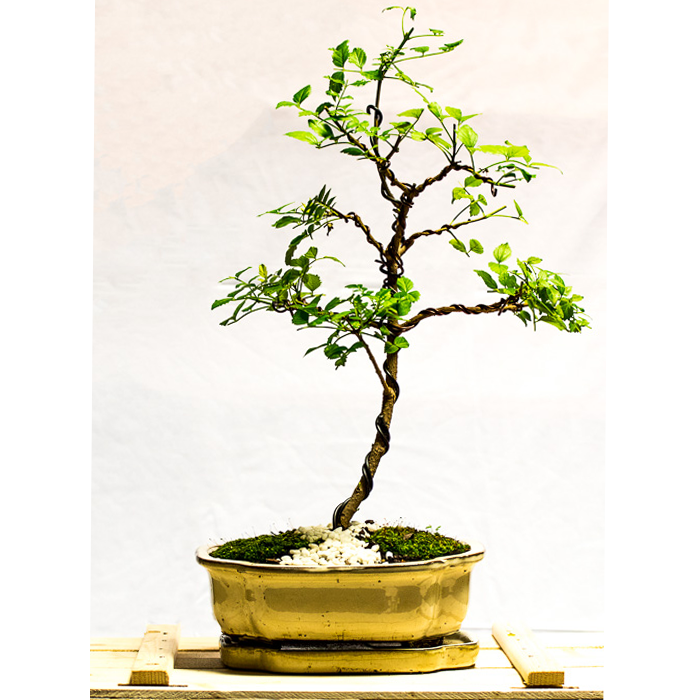 tellys bonsai cape honeysuckle
