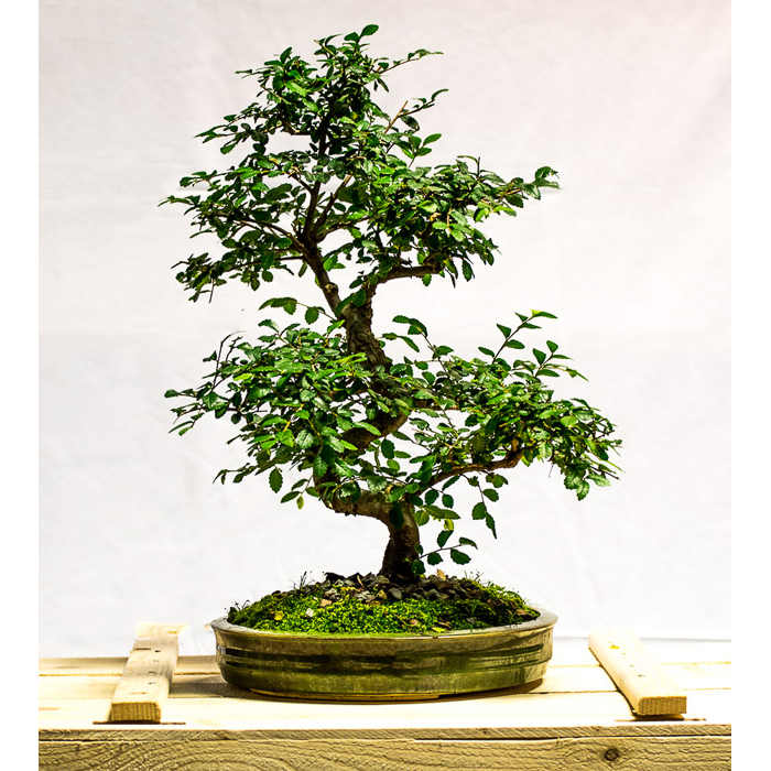 tellys bonsai chinese elm