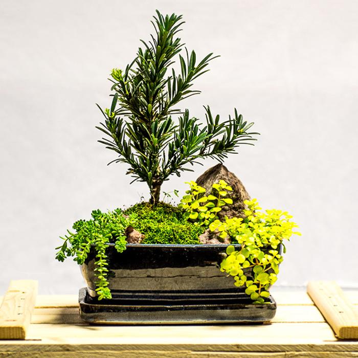 tellys bonsai podocarpus buddhist pine