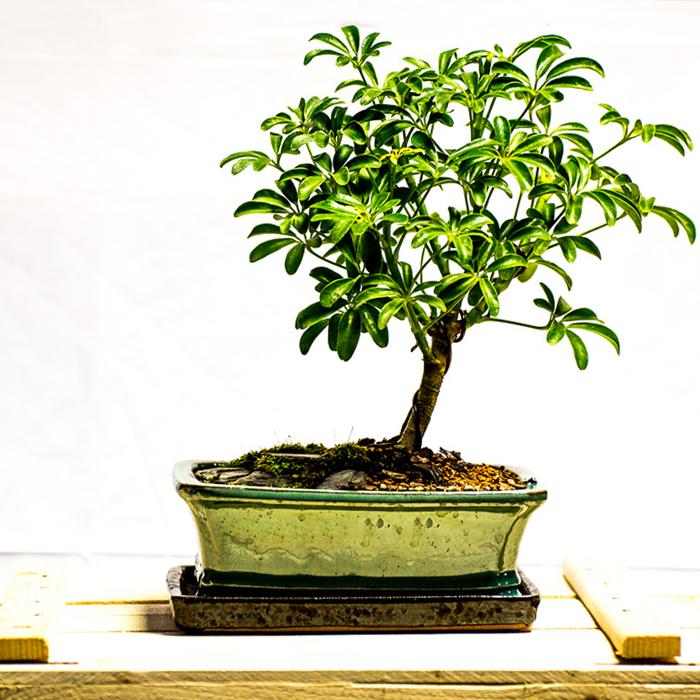 tellys bonsai schefflera arboricola