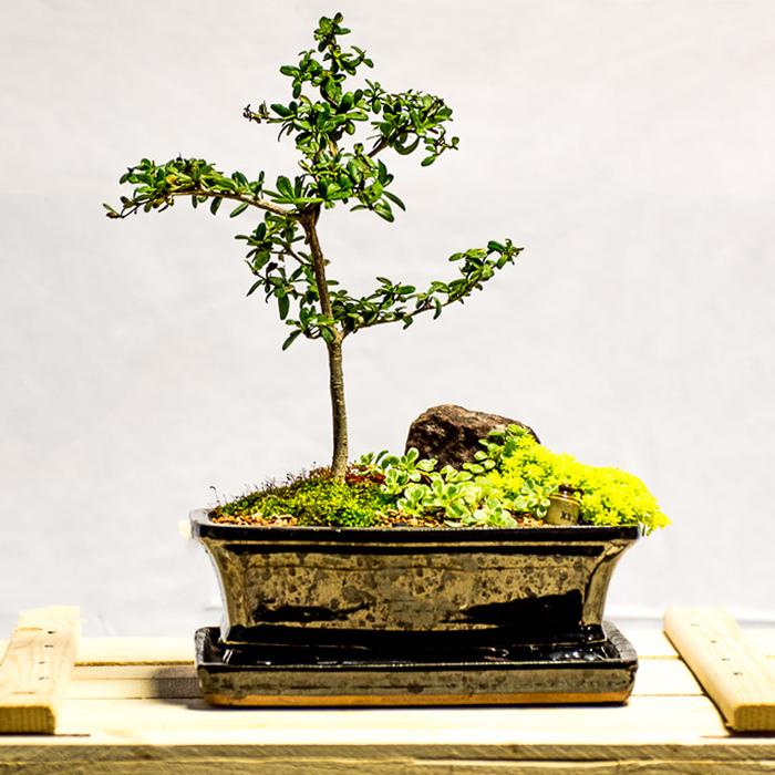 tellys bonsai black olive bucida espinosa