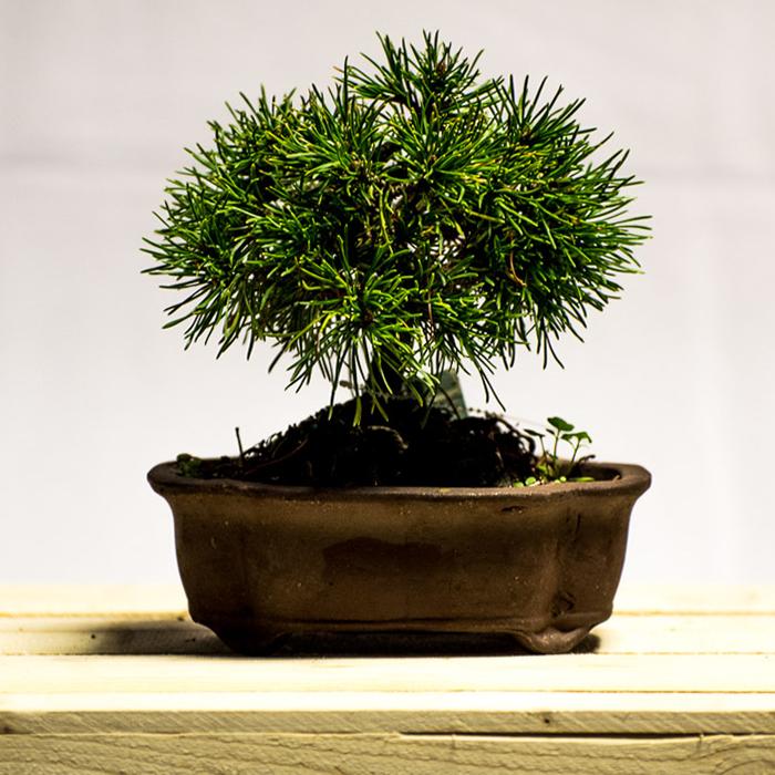 tellys bonsai mugo pine