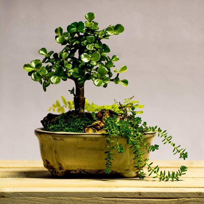 tellys bonsai carisa natal plum