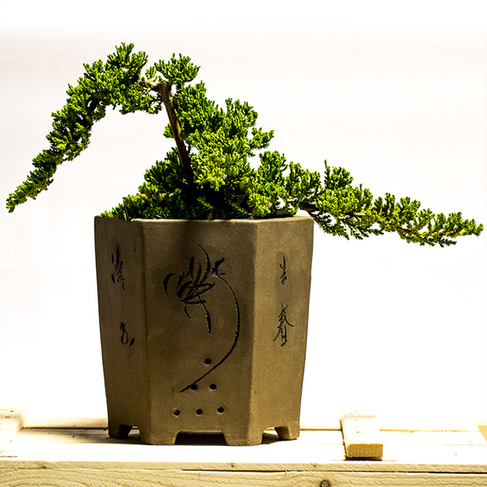 juniper bonsai cascade
