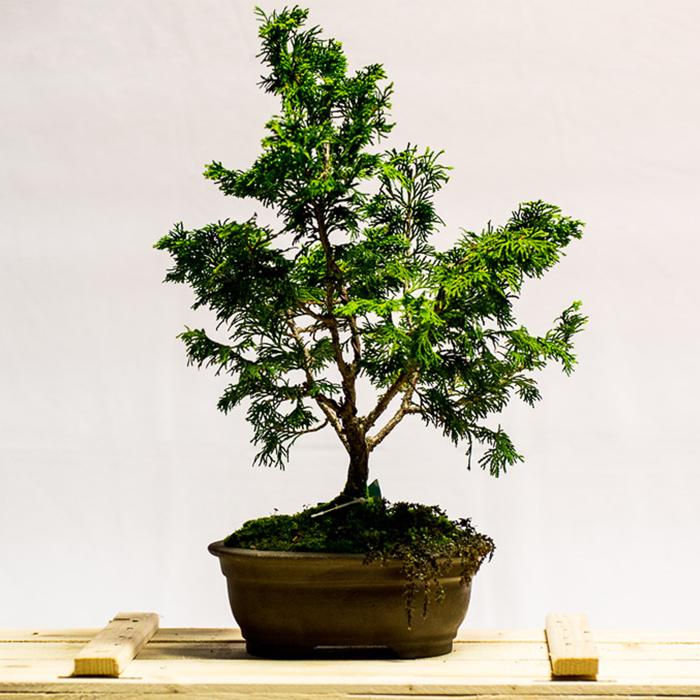 tellys bonsai hinoki cypress chamaecyparis obtusa