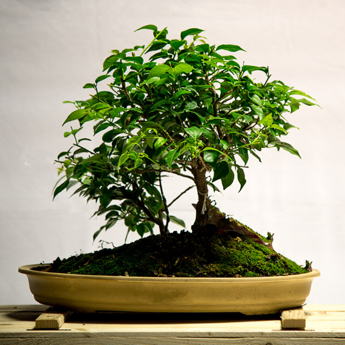 tellys bonsai focus golden gate