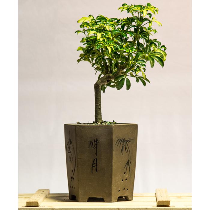tellys bonsai schefflera arboricola bonsai