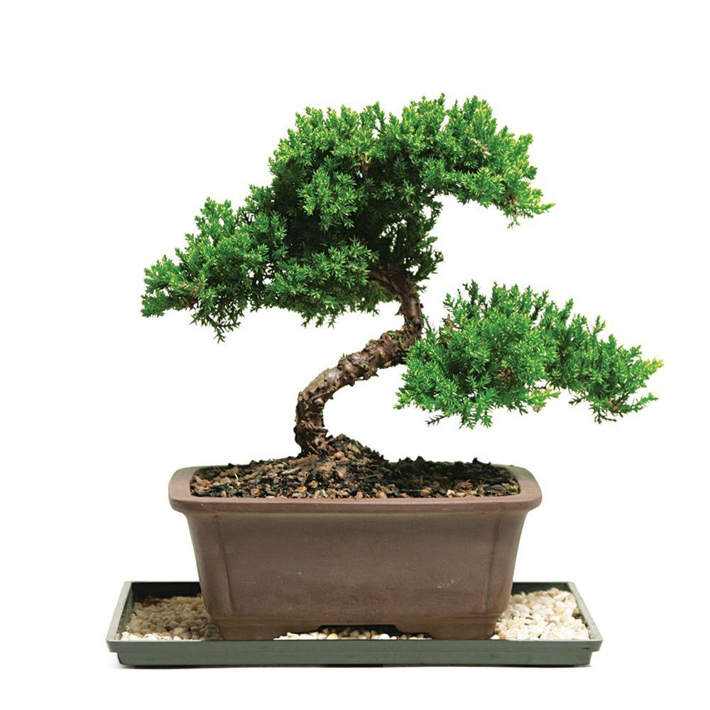 Juniper Bonsai Workshop - Bonsai Workshop at Telly's ...