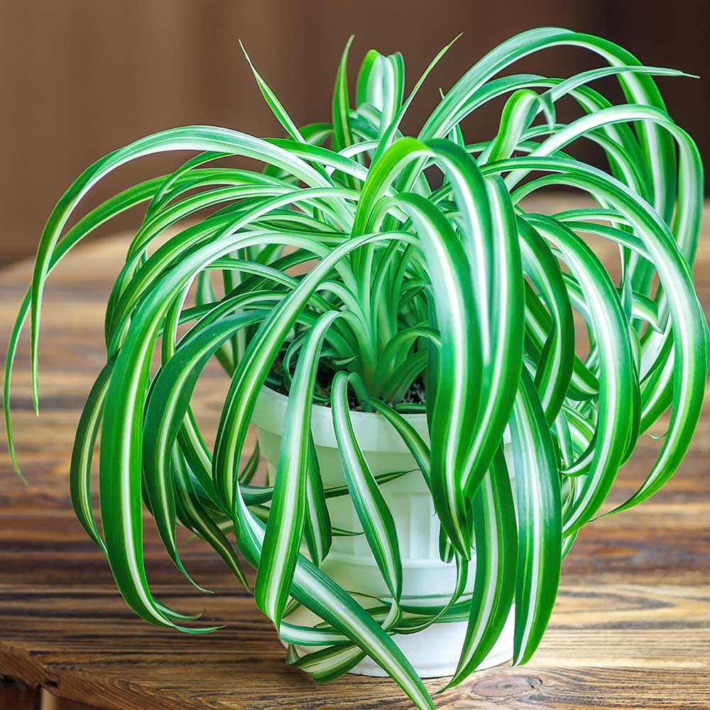 spider plant school plants telly's greenhouse