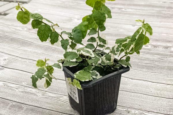 Ficus pumila repens 'Variegated Creeping Fig'