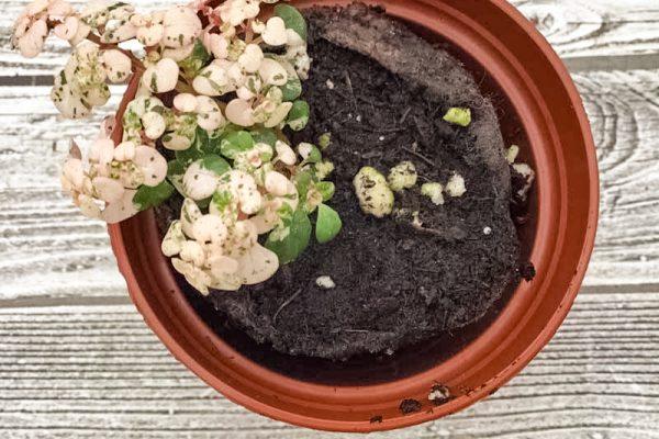 Piles microphylla variegata