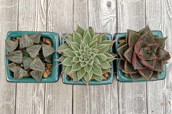 Succulents - Assorted