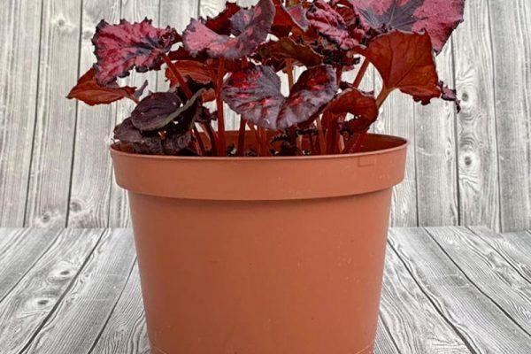 Begonia Rex - Assorted