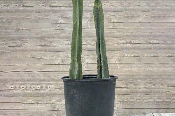 Cereus uruguayans peruvianus