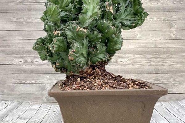Euphorbia Specimen