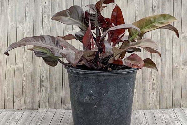 Philodendron - Black Cardina