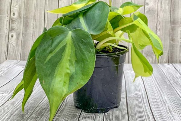 Philodendron - Brazil