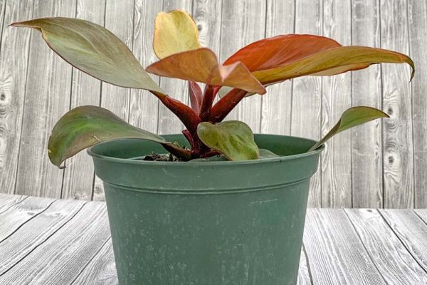 Philodendron - McColly