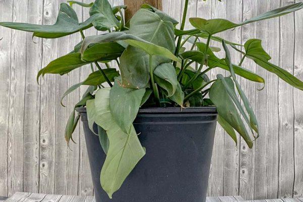 Philodendron pandureforme Totem