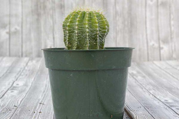 Cactus - Balloon