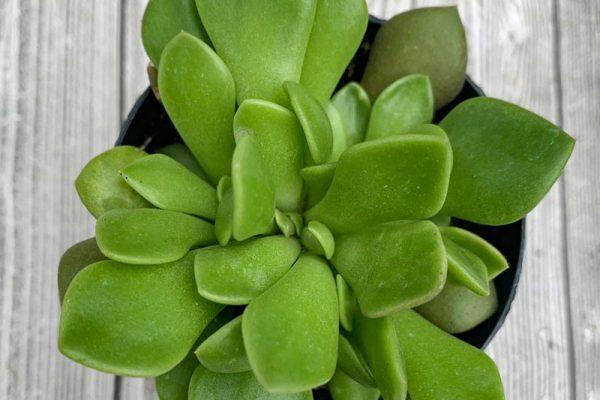 Anacampseros rufescens - Mimicry Plant