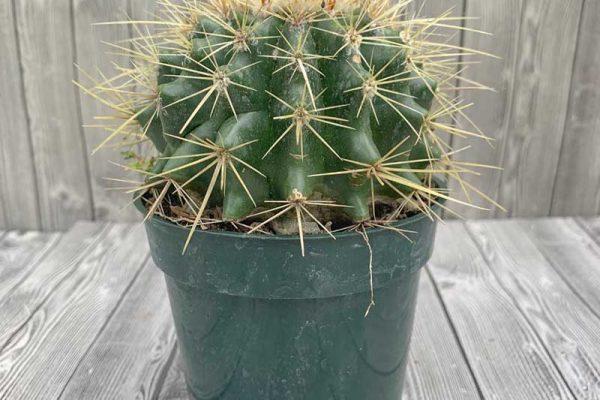 Cactus - Barrel