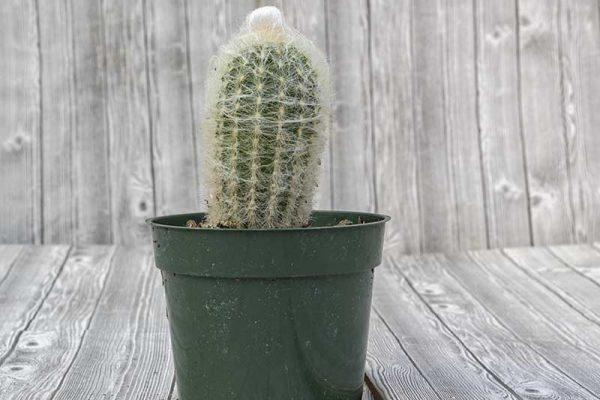 Cactus - Cotton Ball