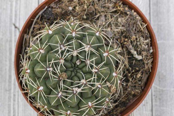 Cactus - Cuzata (2)