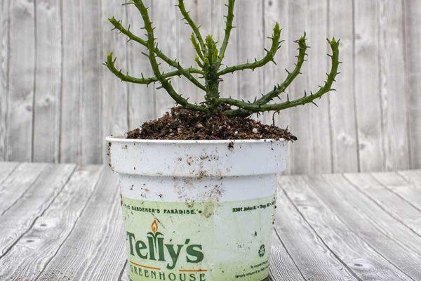 Cactus - Medusa Head