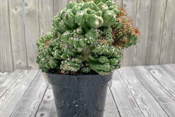 Cactus - Monster