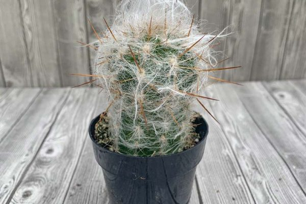 Cactus - Old Man of the Andes
