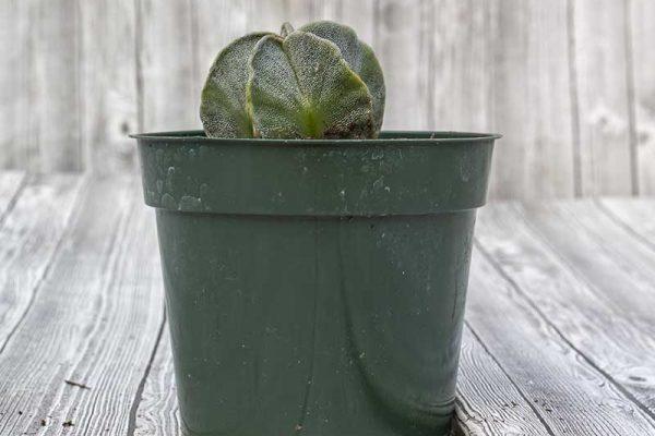 Cactus - Star (2)