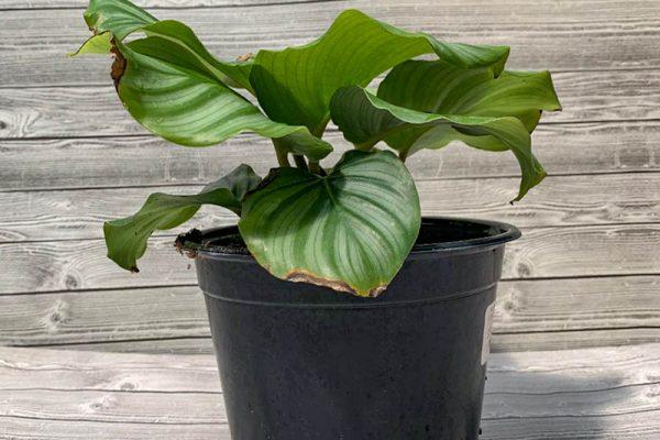Calathea orbitfolia