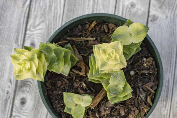 Crassula perforata variegata (2)