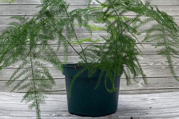 Fern - Asparagus plumosa