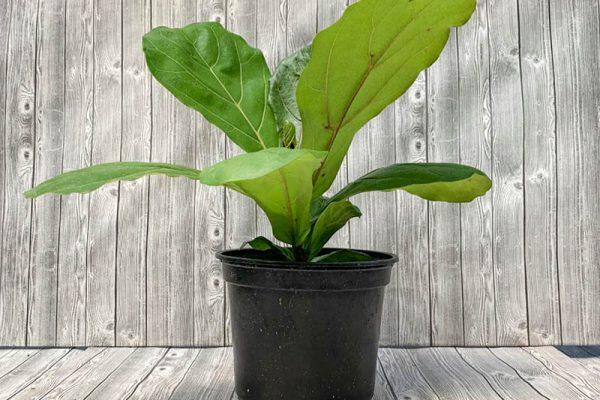 Ficus iyrata - Fiddle Leaf Fig Bush