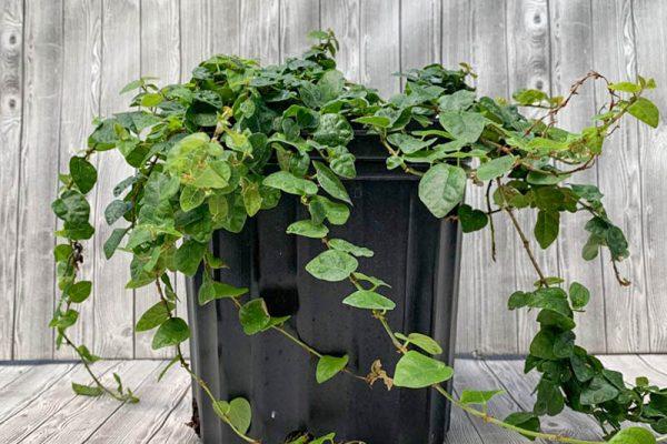 Ficus pumila repens - Creeping Fig
