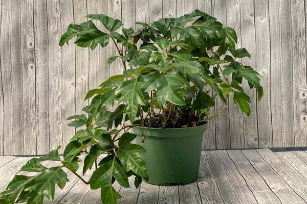 Ivy Oak Leaf Cissus - Ellen Danica