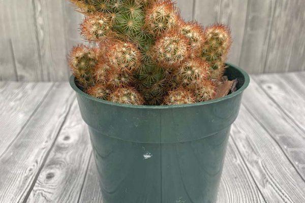 Mammillaria elongate - Lady Finger Cactus