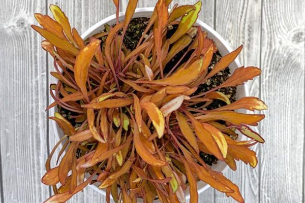 Miniature Coleus - Fancy Feathers Copper