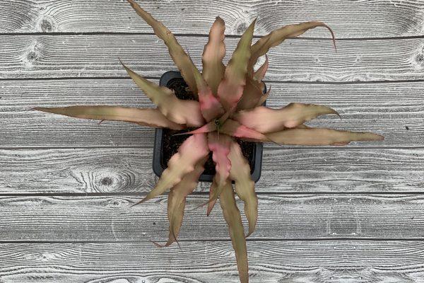 Cryptanthus Assorted Cultivars