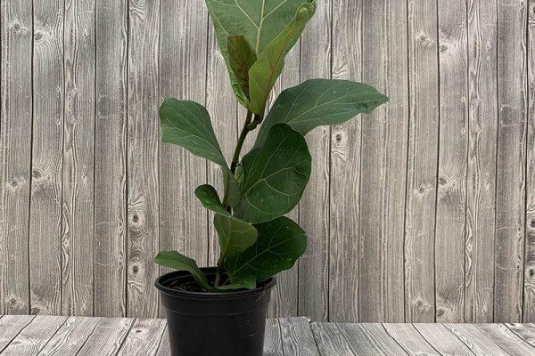 Ficus Iyrata Bambino Fiddle Leaf Fig