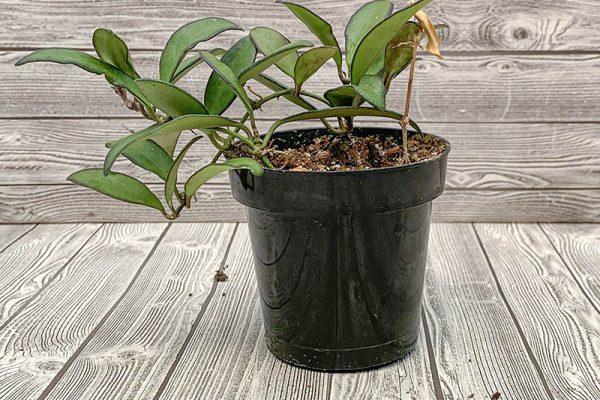 Hoya Rosita (rare)
