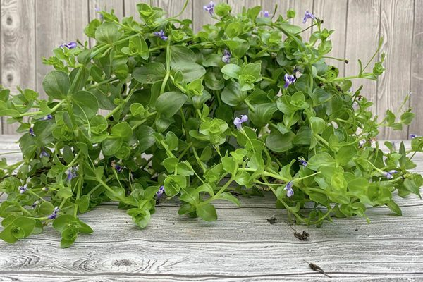 Lindernia grandiflora Blue Moneywort