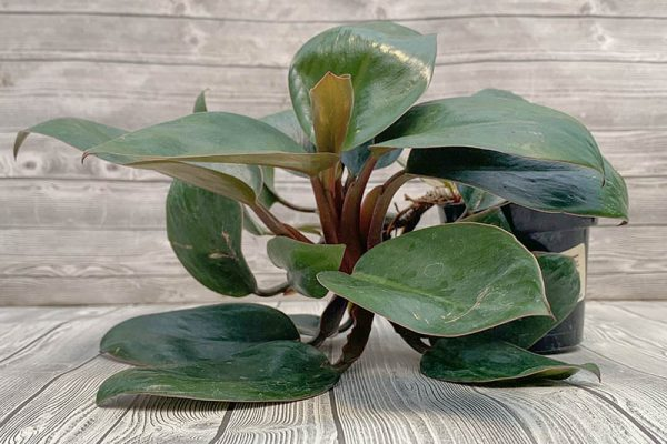 Philodendron Red Congo Dwarf Rare