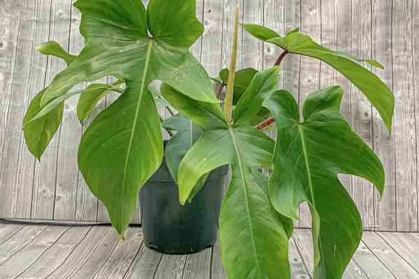 Philodendron squamiferium (rare)